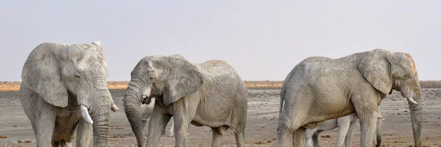 namibia_elephant