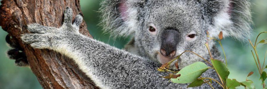 australia_koala-363785
