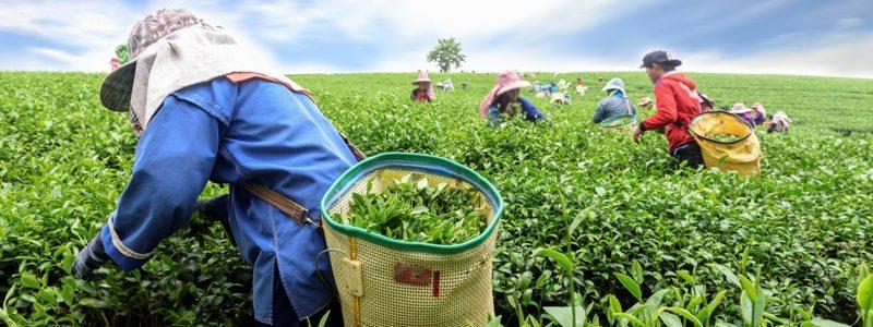 Crowd of tea picker picking tea leaf on plantation, Chiang Rai, Thailand