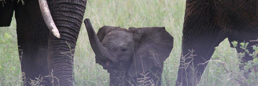 tanzania_baby-elephant-222978_1280